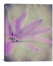 Senetti Delicate Purple, Canvas Print