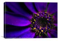 Purple Senetti., Canvas Print