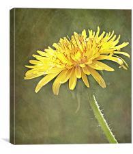 Sunlight Dandelion., Canvas Print