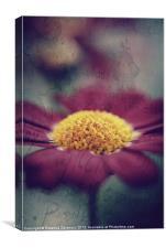 Pink Argyanthemum., Canvas Print