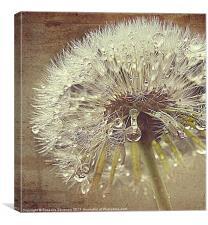 Glistening Dandelion., Canvas Print