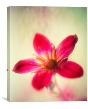 Pink Saxifraga Delight., Canvas Print