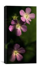 Wild Geranium Maculatum, Canvas Print