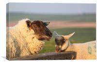 Sheep & Lamb on Farm, Canvas Print