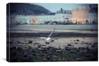 Seagull, Llandudno Beach, Wales, Canvas Print