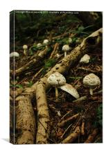 Macrolepiota rhacodes wild mushroom, Canvas Print