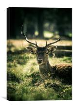Sika Deer, Canvas Print