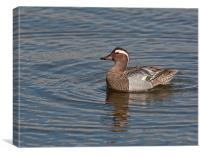 Garganey, Canvas Print