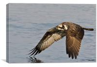 Osprey Low Flying., Canvas Print