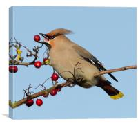 Waxwing 2, Canvas Print