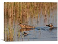 Bittern / Little Grebes., Canvas Print