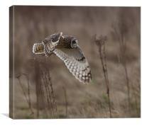 Short - Eared Owl.
