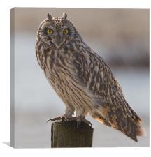 Short - Eared Owl., Canvas Print