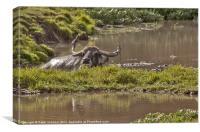 Water Buffalo - Bubalus a. arnee, Canvas Print