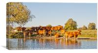 Herd of Bulls in River Thames, Canvas Print