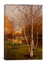 Silver Birch Trees, St. James's Park, Canvas Print