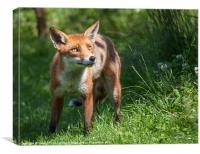 Fox - Vulpes vulpes, Canvas Print