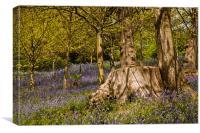 Bluebells at Emmetts Garden, Kent, United Kingdom, Canvas Print