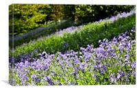 A Carpet of English Bluebells, Kent UK, Canvas Print