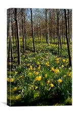 Daffodils and Trees, O2, Docklands, London, Canvas Print