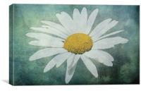 Ox Eye Daisy, Leucanthemum vulgare, Canvas Print