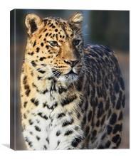 Marwell Leopard, Canvas Print
