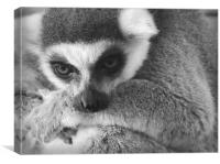 The wise Lemur, Canvas Print
