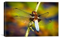 Male Broad-Bodied Chaser Dragonfly, Canvas Print