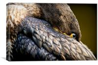 Resting Immature Cormorant (Phalacrocorax carbo), Canvas Print
