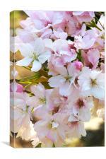 Apple Blossom Close-up, Canvas Print