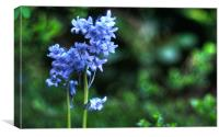 Bluebell HDR
