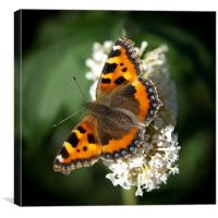 Red Admiral #1, Canvas Print