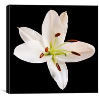 White Lily, Canvas Print