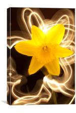 Daffodil Light Show, Canvas Print