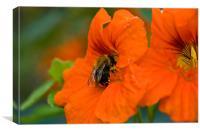 Pollen Hunt, Canvas Print