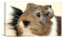Guinea-Piglet