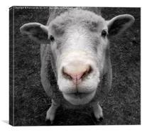 Sheepish!, Canvas Print