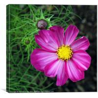 Purple Cosmos Flower, Canvas Print