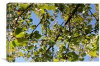 Apple Tree Blossom, Canvas Print