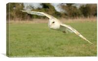 Barn Owl in Flight, Canvas Print