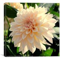 Beautiful Cream Dahlia Flower, Canvas Print