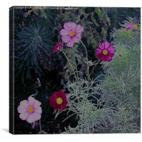 Pink and Purple Cosmos Flowers, Canvas Print