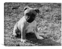 Staffordshire Bull-Terrier Puppy, Canvas Print