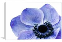 Blue Anemone, Canvas Print