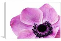 Pink Anemone, Canvas Print