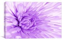 Purple Mum, Canvas Print