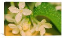 White Lilac Raindrops, Canvas Print