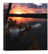 Dafodil Sunset, Canvas Print