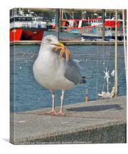 Seagull eating a starfish, Canvas Print