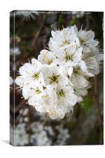 White hawthorn blossom (Crataegus monogyna), Canvas Print